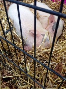 Even the piggies were cuddled up on this chilly Fall day.
