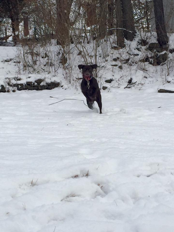 Dixie Chick out for a frolic in the snow!