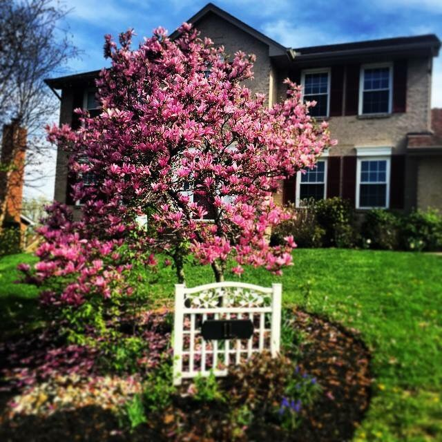 Saucer Magnolia Tree was in full bloom this month!